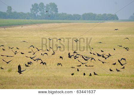 Rooks on field