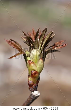 Bud From A Red Buckeye Tree In The Early Spring
