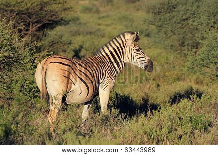 Plains (Burchells) Zebras (Equus burchelli) in natural habitat, South Africa