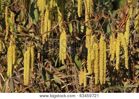 Male Flower Catkins Of Hazel