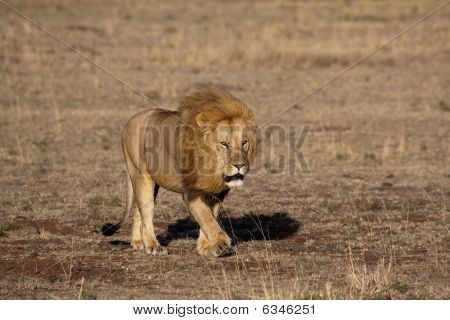 Lion King In The Masai Mara
