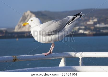 Seagull On Ferry At Dover Channel Crossing