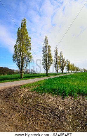 Row of Poplar trees in driveway