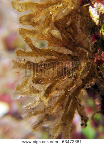 Brown algae