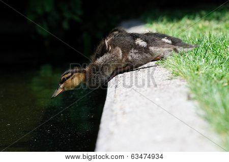 Cute baby duck Anas platyrhynchos