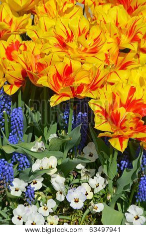 Orange And Yellow Striped Tulips