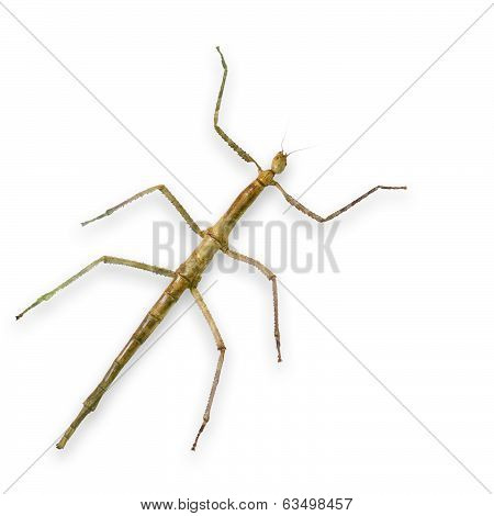 Asia walking stick