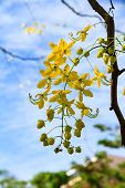stock photo of cassia  - Cassia Fistula Flower In Tree Garden Home - JPG