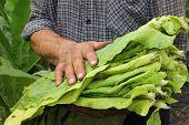 stock photo of tobacco barn  - Farmer harvest ripe tobacco in the field - JPG
