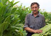 image of tobacco barn  - Farmer harvest ripe tobacco in the field - JPG