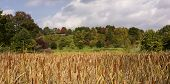 pic of cattail  - Looking across a field of cattails to a hill with colorful trees - JPG