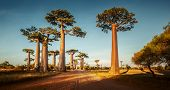 foto of baobab  - Baobab trees along the rural road at sunny day - JPG