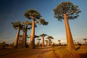 stock photo of baobab  - Baobab trees along the rural road at sunny day - JPG