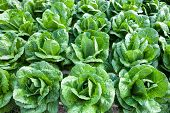 picture of hydroponics  - Organic hydroponic salad vegetable in the garden - JPG