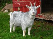 stock photo of pygmy goat  - A pygmy goat standing outside its shelter.