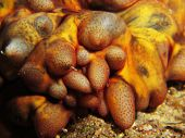 foto of echinoderms  - Details from the front of a tubercle sea cucumber  - JPG