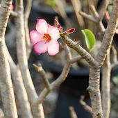 pic of desert-rose  - Adenium or desert rose flower blooming on bunch - JPG