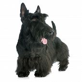 stock photo of scottish terrier  - Scottish Terrier in front of white background - JPG