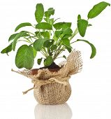fresh  sage salvia plant growing in brown terracotta pot wrapping bag cloth isolated on white backgr
