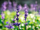 picture of purple sage  - Close - JPG