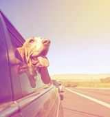 image of basset hound  - a funny basset hound with her head out of a car window and tongue out done with a vintage retro toned instagram filter - JPG