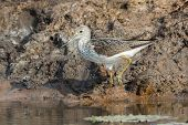 Common Greenshank (tringa Nebularia) On A Muddy Bank