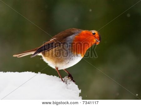 Curious Looking Robin In Snow