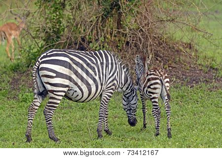 Mother And Baby Zebra In The Wilds