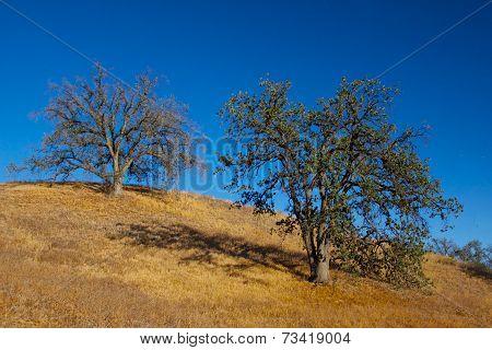 Two Oaks On A Hillside