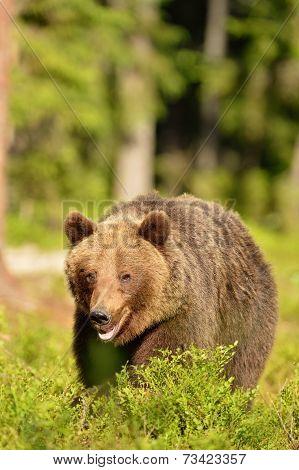 Brown Bear Walking In Forest