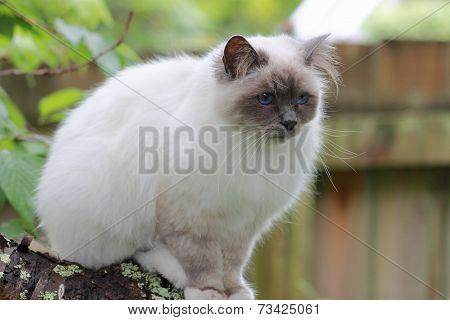 Birman Cat