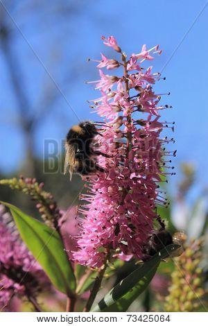 Bumblebee Feeding On A Hebe Flower