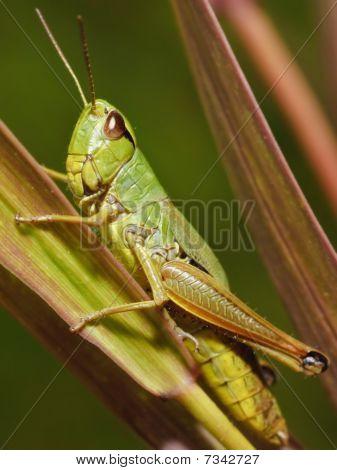 Katydid- Insect