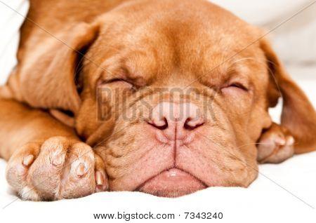 Tired Little Puppy