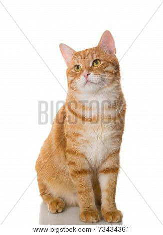 Beautiful Orange Cat