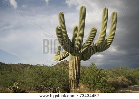 Saguaro Cactus with Storm Clouds Overhead