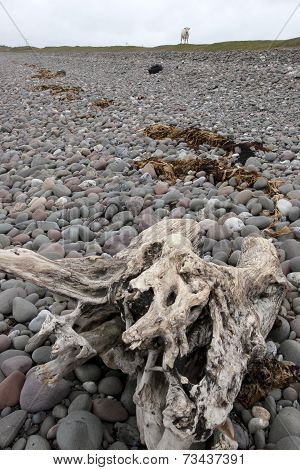 Driftwood On The Pebbled Beach