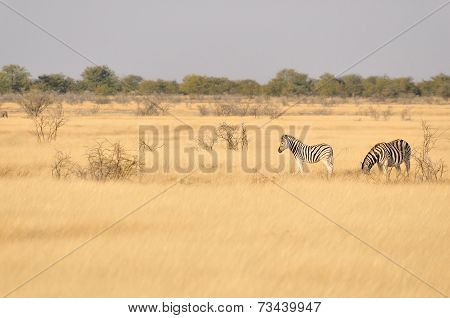 Zebras In A Grass Field