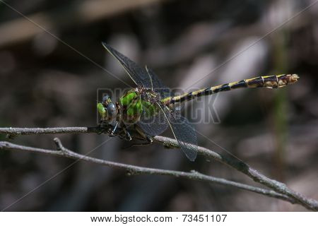Sioux Snaketail