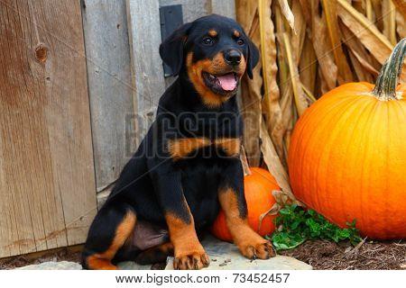 Rottweiler puppy sitting beside pumpkin