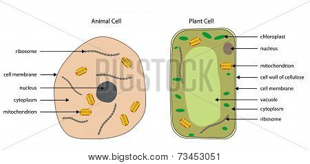 Diagrams Of Animal And Plant Cells