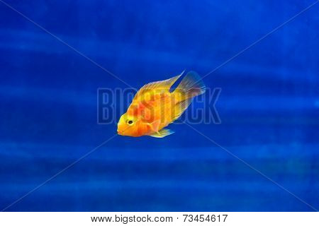 Red Parrot Cichlid