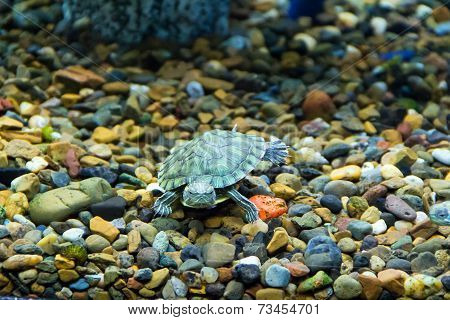 Creeping Terrapin