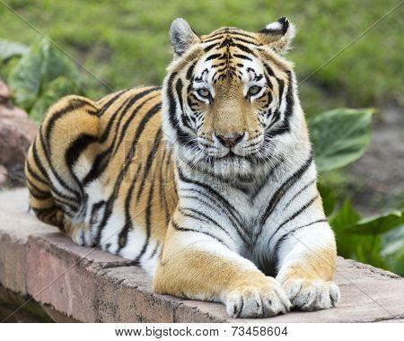 Tiger making eye contact