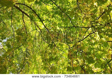 Looking up at a large chestnut tree in autumn