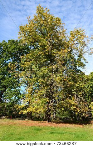 A colourful chestnut tree in a field in autumn
