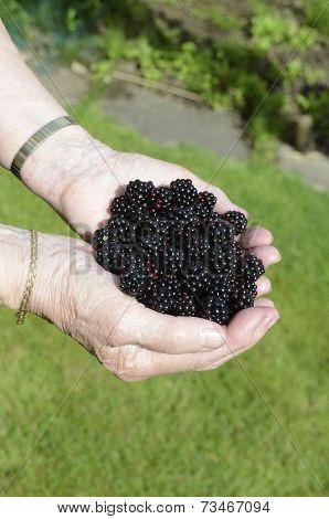 A handful of blackberries