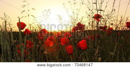 Red Poppies In The Wheat Fields