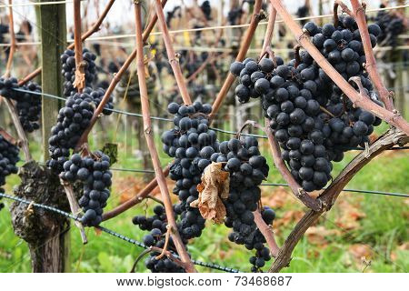 Grapes for making ice wine
