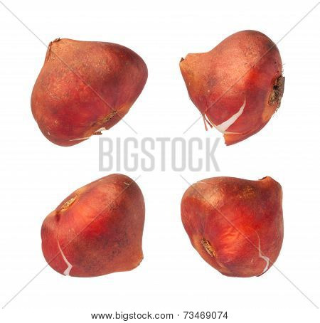 Tulip Bulbs Isolated On White Background, Close Up